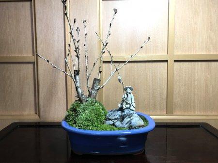 御殿場桜と釣り人形盆栽
